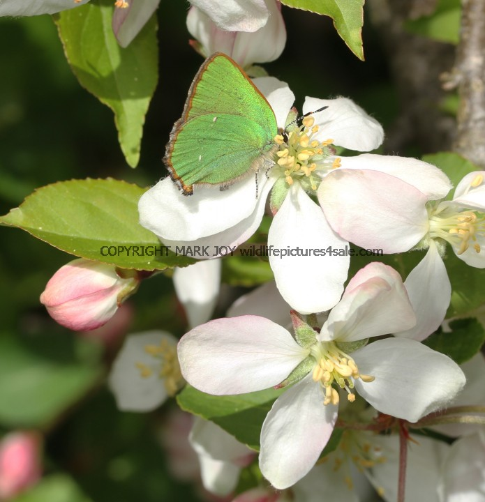 Green Hairstreak (4)