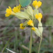 Green Hairstreak (7)