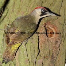 Green Woodpecker (4)