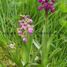 Green winged Orchid (Anacamptis morio) 2.5.2017 (10)