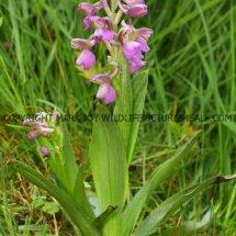 Green winged Orchid (Anacamptis morio) 2.5.2017 (11)