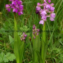 Green winged Orchid (Anacamptis morio) 2.5.2017 (2)