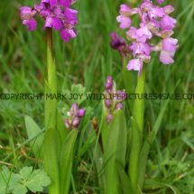 Green winged Orchid (Anacamptis morio) 2.5.2017 (3)
