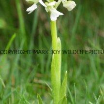 Green winged Orchid (Anacamptis morio) 2.5.2017 (4)