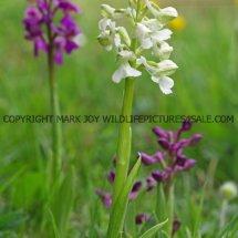 Green winged Orchid (Anacamptis morio) 2.5.2017 (5)