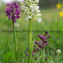 Green winged Orchid (Anacamptis morio) 2.5.2017 (6)