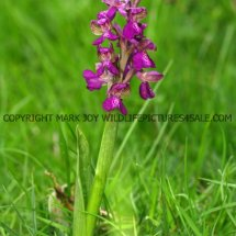 Green winged Orchid (Anacamptis morio) 2.5.2017 (7)