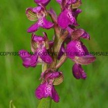 Green winged Orchid (Anacamptis morio) 2.5.2017 (8)