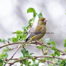 Greenfinch (2)