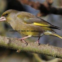 Greenfinch 9 (1)