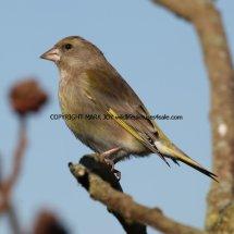 Greenfinch 9 (3)