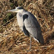Grey Heron (24)