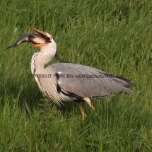 Grey Heron with Tench (10)