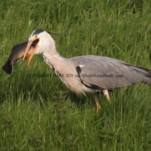 Grey Heron with Tench (11)