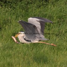 Grey Heron with Tench (2)