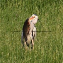 Grey Heron with Tench (4)