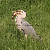 Grey Heron with Tench (5)