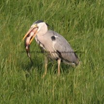 Grey Heron with Tench (8)