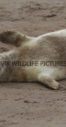 Grey Seal (34)