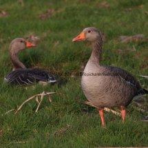 Greylag Goose (5)