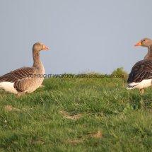 Greylag Goose (9)