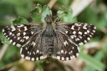 Grizzled Skipper 3