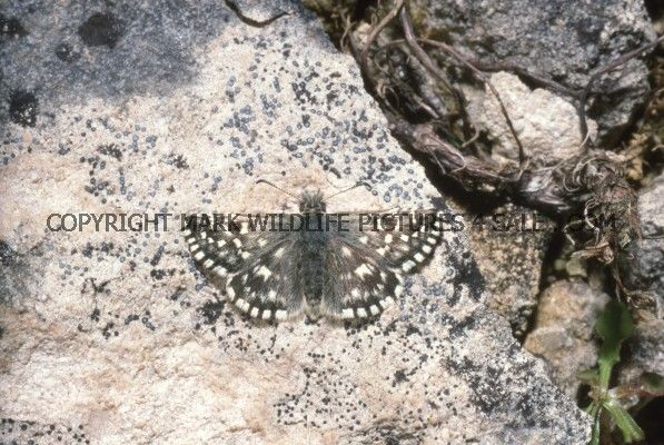 Grizzled Skipper 7