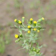 Groundsel (Senecio vulgaris) (1)