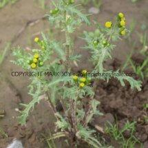 Groundsel (Senecio vulgaris) (2)