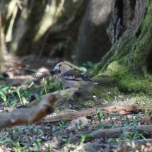 Hawfinch Lynford Arboretum 25.3.2017 (1)