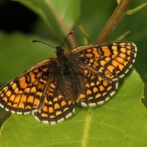 Heath Fritillary (10)