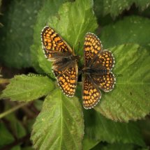 Heath Fritillary (11)