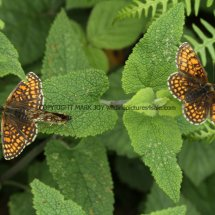 Heath Fritillary (12)