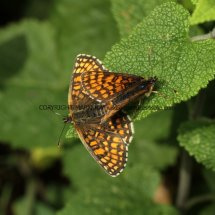 Heath Fritillary (13)