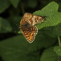 Heath Fritillary (14)