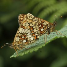 Heath Fritillary (15)