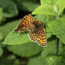 Heath Fritillary (17)
