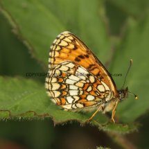 Heath Fritillary (1)