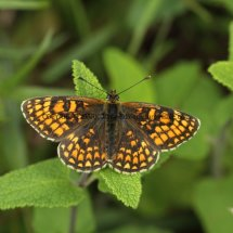 Heath Fritillary (2)