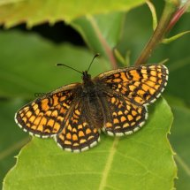 Heath Fritillary (3)