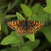 Heath Fritillary (4)