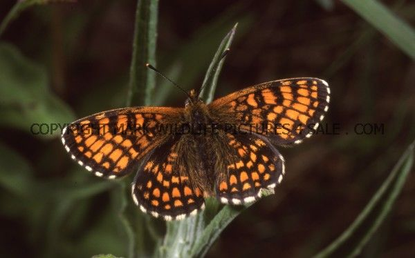 Heath Fritillary 5