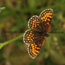 Heath Fritillary (5)