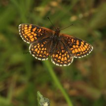 Heath Fritillary (6)
