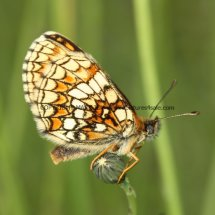 Heath Fritillary (7)
