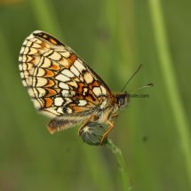 Heath Fritillary (8)