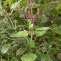 Hedge Woundwort (Stachys sylvatica) (1)