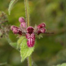 Hedge Woundwort (Stachys sylvatica) (2)