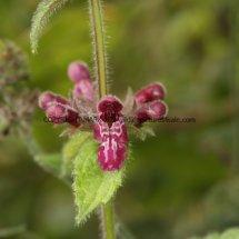 Hedge Woundwort (Stachys sylvatica) (2)