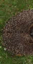 Hedgehog 1 (2)